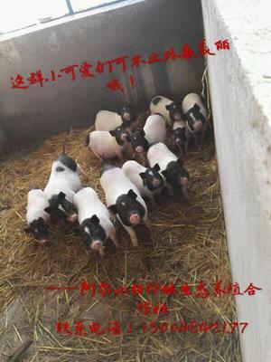 内蒙古自治区兴安盟阿尔山市特种野猪 100斤以上 统货