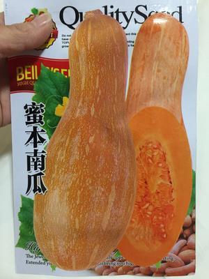 四川省成都市金牛区蜜本南瓜种子 85%