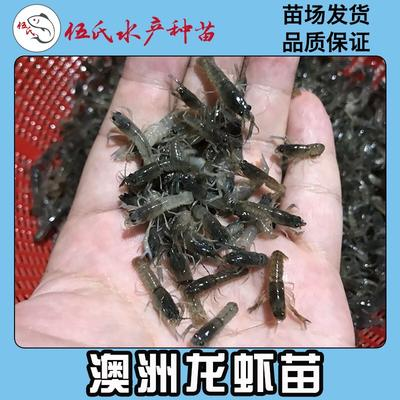 广东省广州市花都区澳洲淡水小龙虾苗