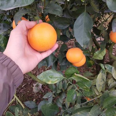 这是一张关于黔阳冰糖橙 55 - 60mm 4两以下的产品图片