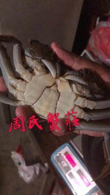 这是一张关于兴化螃蟹 4.0两以上 公蟹的产品图片