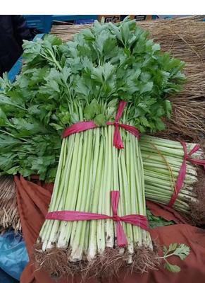 山东省临沂市兰陵县香芹 50~55cm 大棚种植 0.5~1.0斤
