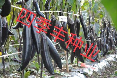 四川省成都市新都区茄子种子 ≥95% 杂交种