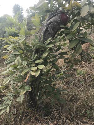 安徽省亳州市利辛县多花紫藤 1.5~2米 5公分以上