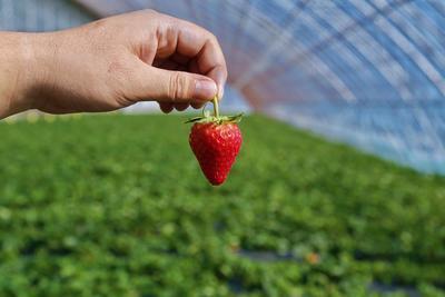 辽宁省沈阳市和平区九九草莓 30克以上