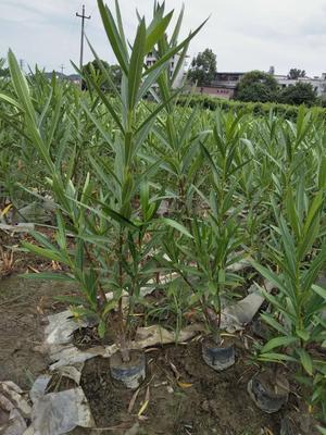 湖南省郴州市苏仙区夹竹桃 2~4公分 2~4公分 0.2~0.5米