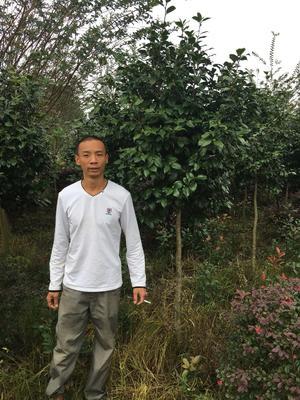 四川省成都市温江区茶花树 140cm以上