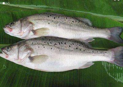 湖南省岳阳市华容县加州鲈鱼 人工养殖 0.5公斤以下