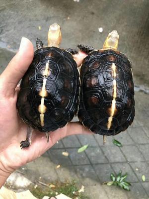 广东省茂名市电白区龟甲