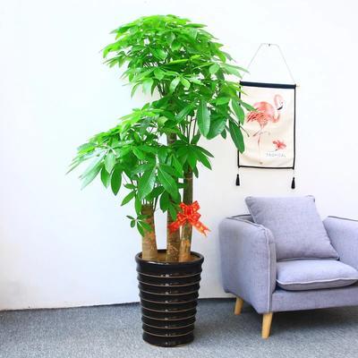 广东省广州市番禺区盆栽发财树