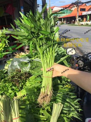 四川省成都市新都区竹叶空心菜 空心菜,泰国空心菜种