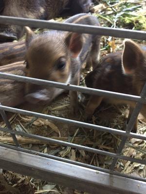 河北省邢台市平乡县特种野猪 20-30斤 统货