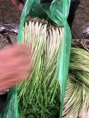 江苏省无锡市惠山区尖叶水芹 50~55cm