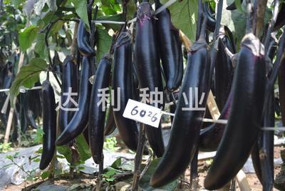 四川省成都市彭州市茄子种子 口感软糯 产量极高