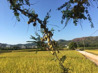 广西壮族自治区梧州市藤县甜种 2cm以上
