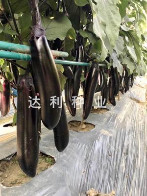 四川省成都市彭州市茄子种子 ≥95% ≥99% 杂交种