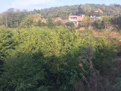 湖南省衡阳市耒阳市南方红豆杉 0.5~1米