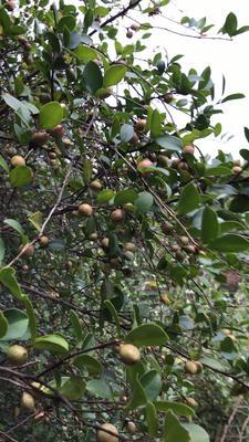 福建省三明市尤溪县茶叶籽油