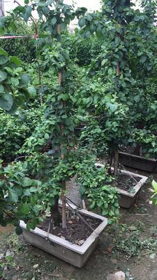 福建省漳州市龙海市塔紫 1.5~2米