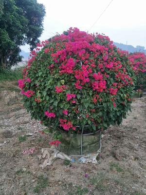 福建省漳州市龙海市同安红三角梅 1.5~2米