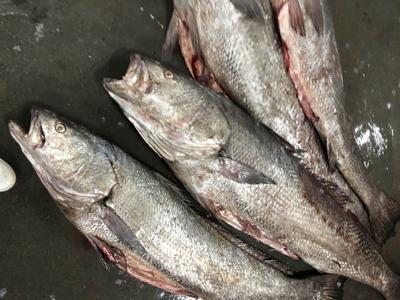 四川省成都市成华区鮸鱼 野生 10公斤以上