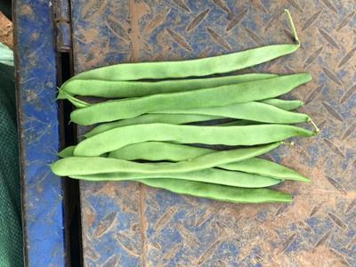 云南省保山市隆阳区绿扁豆 2cm以上 20cm以上