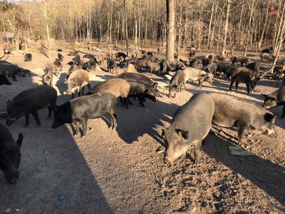 黑龙江省哈尔滨市木兰县生态野猪 20-30斤 统货