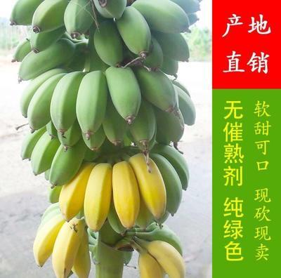 福建省漳州市南靖县苹果蕉 八成熟