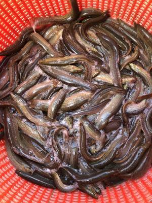 广东省中山市中山市台湾泥鳅 55尾/公斤 10-15cm 人工养殖