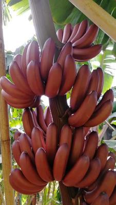 广西壮族自治区南宁市西乡塘区红香蕉 八成熟