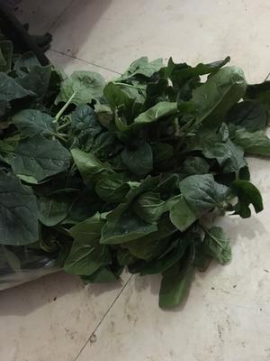 河南省开封市祥符区黑叶菠菜 15~20cm