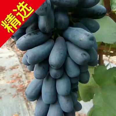 蓝宝石葡萄苗