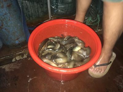 广东省佛山市南海区台湾泥鳅 55尾/公斤 15cm以上 人工养殖