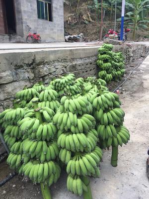 贵州省黔西南布依族苗族自治州安龙县西贡蕉 八成熟