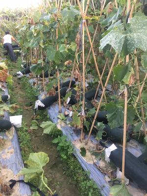 广西壮族自治区玉林市福绵区黑皮冬瓜 15斤以上 黑皮
