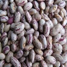 甘肃省张掖市甘州区奶花芸豆