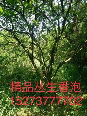 湖南省益阳市资阳区小叶樟