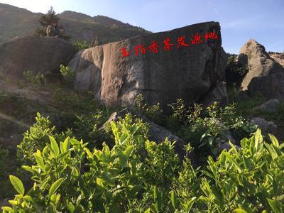 湖南省岳阳市平江县新工艺白茶 散装 特级