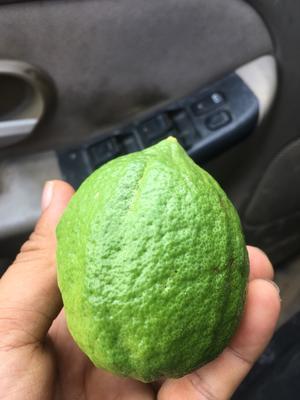 广西壮族自治区崇左市大新县香水柠檬 2.7 - 3.2两
