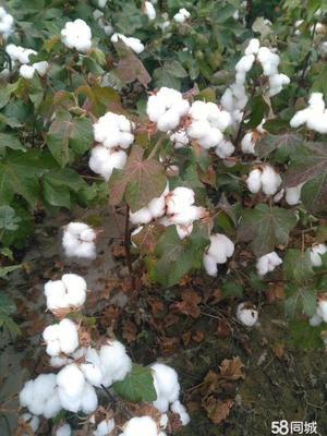 新疆维吾尔自治区乌鲁木齐市沙依巴克区新疆棉花