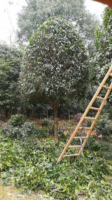 湖南省长沙市雨花区茶花球 50~80cm