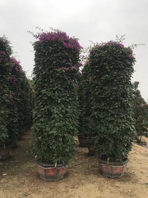 紫花三角梅 2~2.5米