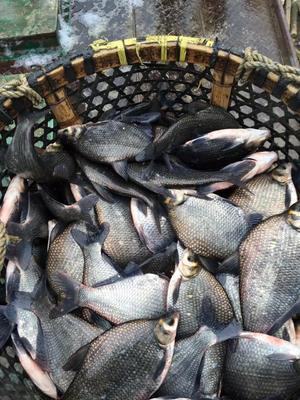 江苏省无锡市宜兴市池塘鳊鱼 人工养殖 1-1.5公斤