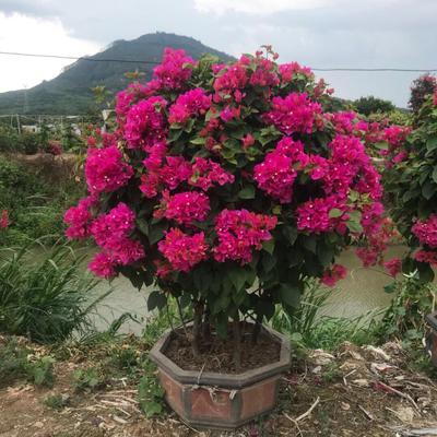 福建省漳州市龙海市紫红三角梅 1.5~2米