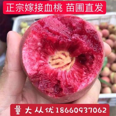 山东省临沂市平邑县血桃苗 1~1.5米