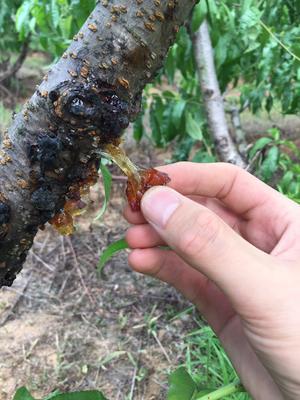 河南省南阳市卧龙区食用桃胶 24个月以上