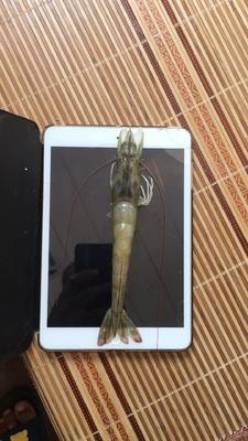 天津宝坻区南美白对虾 人工殖养 3-5钱