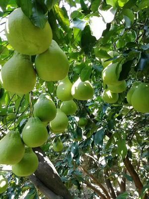 这是一张关于沙田柚 1.5斤以上的产品图片