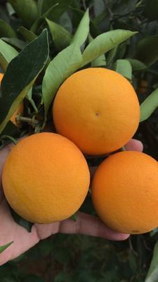 这是一张关于黔阳冰糖橙 60 - 65mm 4两以下 的产品图片