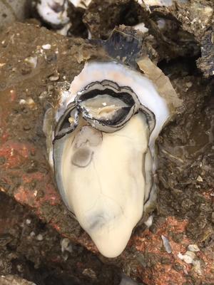 广东省湛江市坡头区湛江牡蛎 人工殖养 3-4两/只